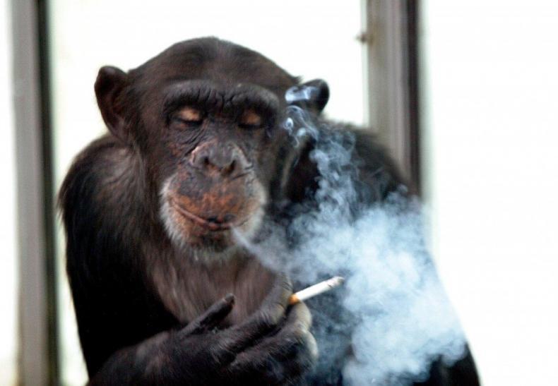 Alkohol a cigarety zabily casinového šimpanze